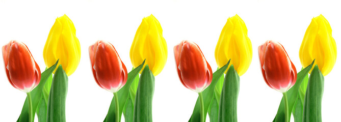 Beautful tulips on a white background.