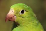 parrot looking left poster