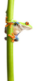 frog on plant stem isolated poster