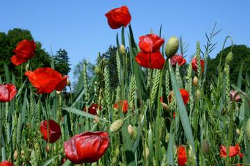 mohnblüte im chiemgau
