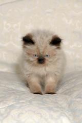 Himalayan Kitten III