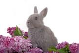 grey bunny among the purple lilac poster