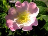 pink flower of briar-rose bush poster