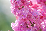 lilac blossoms branch poster
