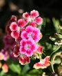 canvas print picture sweet william i think