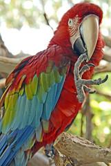 macaw 07