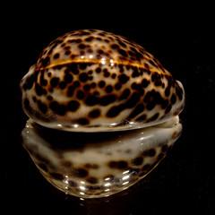 cypraea tigris 0700