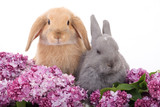 two bunny among the purple lilac poster