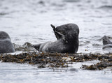 grey, seals, farne, islands, poster