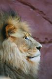 proud lion poster