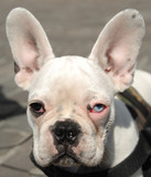 french bulldog face poster