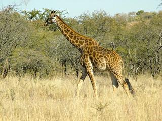 girafe en marche
