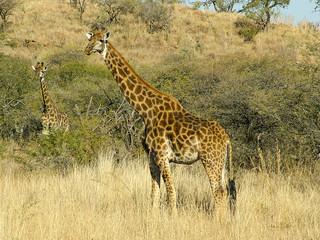 maman et bebe girafe