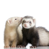 two ferrets kits (10 weeks) poster