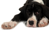 great dane puppy resting poster