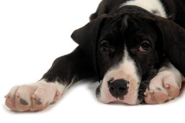 great dane puppy resting