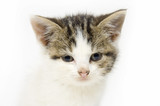 kitten looking straight ahead on white background poster