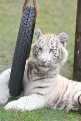weißer mini-tiger