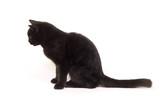 black cat profile looking left poster