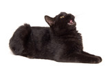 black cat laying down, looking up and meowing poster