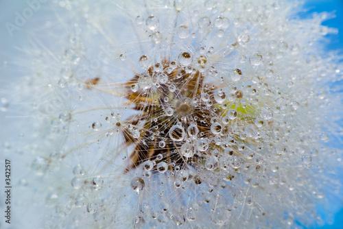 Keuken foto achterwand Paardebloemen en water dandelion, close-up