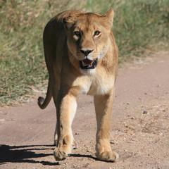 eye to eye with lion in serengeti tanzania