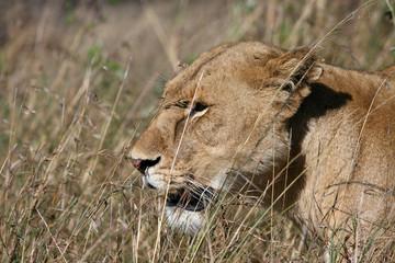 lion in serengeti tanzania