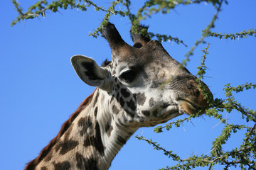 masai giraffe serengeti tanzania