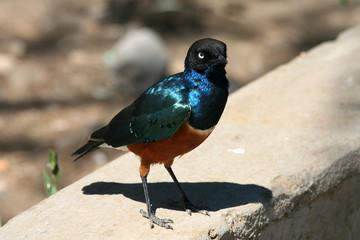 superb starling in tanzania