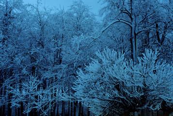 trees frozen blue