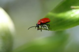 red lily beetle poster