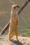 prairiei dog looking left poster