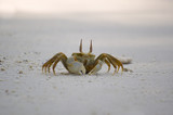 ghost crab - ocypode ceratophthalmus poster