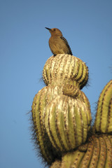 Gila Woodpecker 2