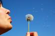 bloweing dandelion #3