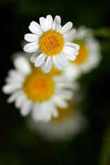 yellow-white flowers of marguerites