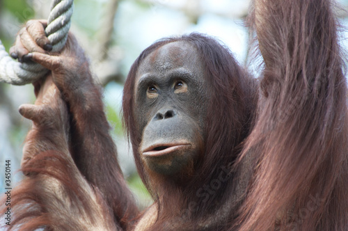 Leinwandbild Motiv orangutan