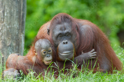 Leinwandbild Motiv mother orangutan with her baby