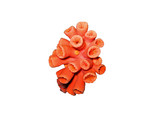 red coral isolated