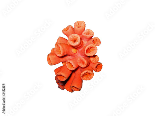 red coral isolated - 3452359