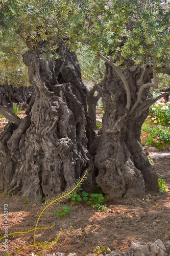 Plexiglas Olijfboom ancient olive tree.