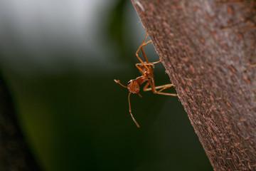 the ant ii