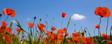 red poppies against a blue sky - 3455781