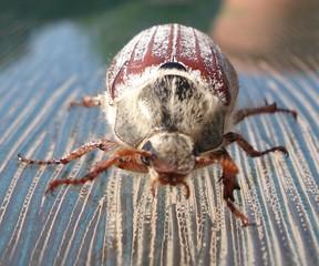 cockchafer beetle, maybug