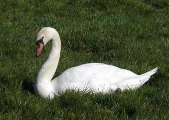 mute swan in a field