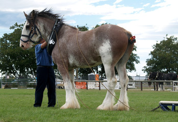 clydesdale with collar & long rein