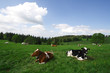 cows and green field on a sunny summer day