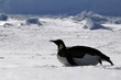 Leinwandbild Motiv gliding penguin