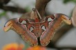 ������, ������: giant atlas moth