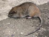 big rat poster